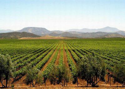 campo-vino-vid-vinedo-mexico-ensenada-valle-guadalupe-mexicano